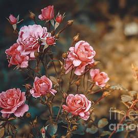 Anna Matveeva - Pink Rose Bush Sunlight Retro Style