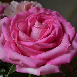 Eileen Brymer - Pink Rose
