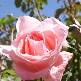 Pink Rose In the Sun by Georgia Threet