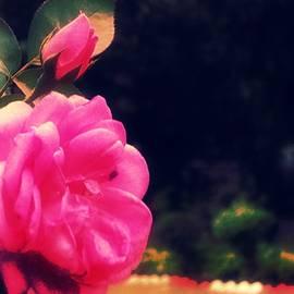 Nilu Mishra - Pink rose