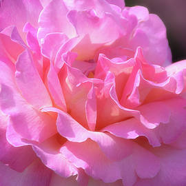 Julie Palencia - Pink Rose Ruffles
