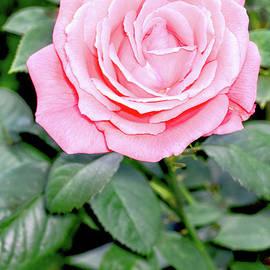 Tom Horsch Photography - Pink Rose, Vertical