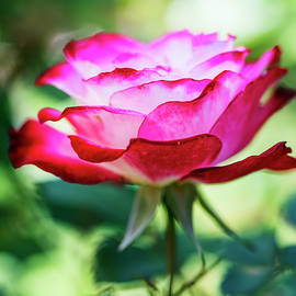Vishwanath Bhat - Pink rose with natural bokeh