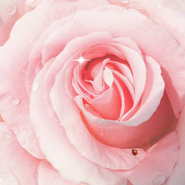 Diane Schuster - Pink Rose With Rain Drops