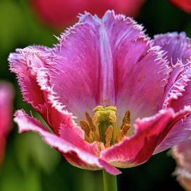 Pink tulip  by Geraldine Scull