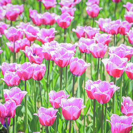 Hyuntae Kim - pink tulip