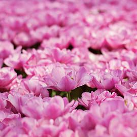 Svetlana Yelkovan - Pink Tulips Mood