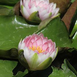 Judy Whitton - Pink Water Lily #4