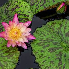 Lindley Johnson - Pink Water Lily and Bud