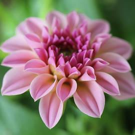 Pink Whisper Of The Garden by Johanna Hurmerinta