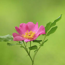 Pink Wild Rose by Debbie Oppermann
