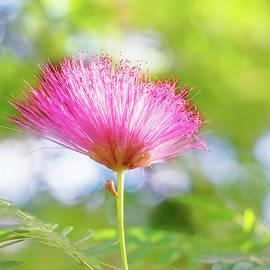 Jessica Manelis - Pink Wisps Of Spring