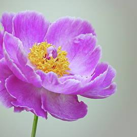 Pink Wonder by Lyuba Filatova