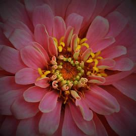Richard Andrews - Pink Zinnia 2