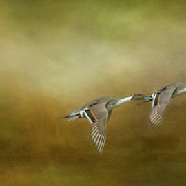 Marilyn Wilson - Pintail Ducks Flying in Formation