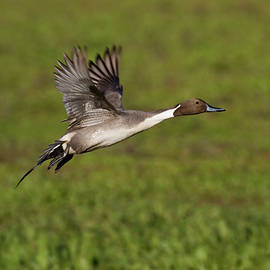 Pintail is my name by Ruth Jolly