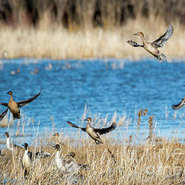 Mike Dawson - Pintails to the Air