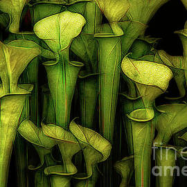 Pitcher Plants Still Life by Mike Nellums