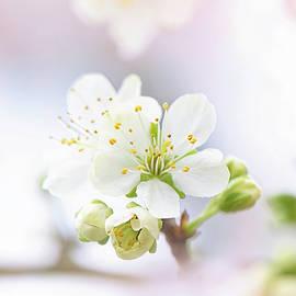 Jacky Parker - Plum Blossom