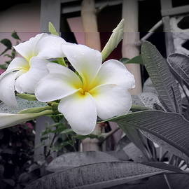 Plumerias With Selective Coloring by Kay Novy