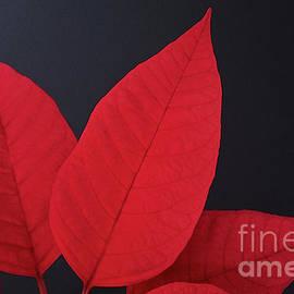 Poinsettia Leaves by Ann Horn