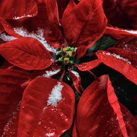 Donna Kennedy - Poinsettia with Snow