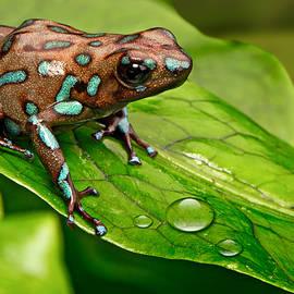 poison art frog Panama by Dirk Ercken
