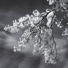 Poplar Branches in Black and White by Nicholas Blackwell