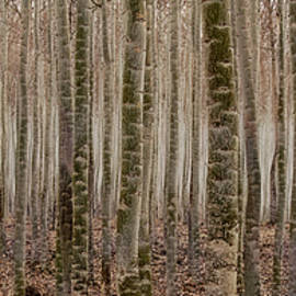 Poplar Line up by Jean Noren