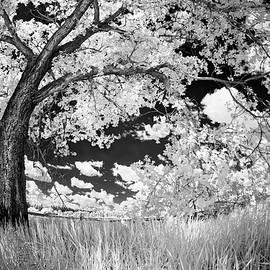 Poplar on the Edge of a Field - Dan Jurak