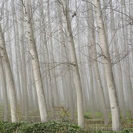 Poplars by Guido Montanes Castillo