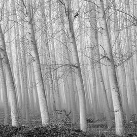 Guido Montanes Castillo - Poplars into the fog