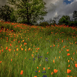 Poppies before the Rainstorm by Christian Mueller