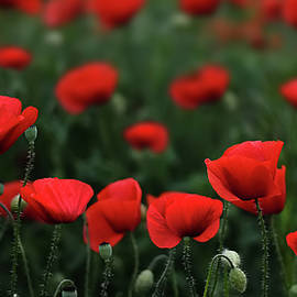 Bess Hamiti - Poppies