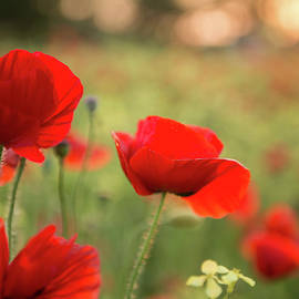 Poppies in the Sun by Joy Watson