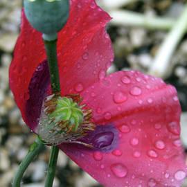 Kim Tran - Poppy After The Rain 5