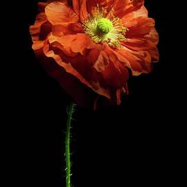 Poppy Face by Ann Garrett