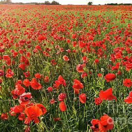 Poppy Field by Kim Lessel