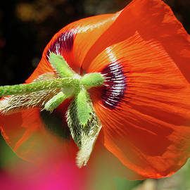 Poppy Magic - Images from the Garden - Floral Photography and Art by Brooks Garten Hauschild