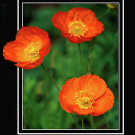 Poppy Pop Out by Jerry Griffin