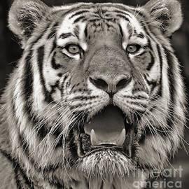 Jim Fitzpatrick - Portrait of a Big Cat III