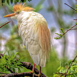 Bill And Deb Hayes - Portrait of a Cattle Egret