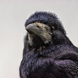Portrait of a Crow - Martin Newman