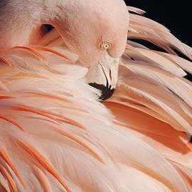 Rawshutterbug - Portrait Of A Flamingo
