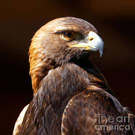 Sue Harper - Portrait of a Golden Eagle