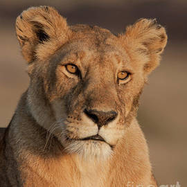 Portrait Of A Lioness by Chris Scroggins