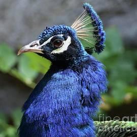 Portrait of A Peacock by Poet's Eye