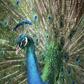 Portrait of a Peacock by Sabrina L Ryan