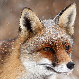 Roeselien Raimond - Portrait of a Red fox in a snow storm