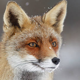 Roeselien Raimond - Portrait of a Red Fox in the Snow